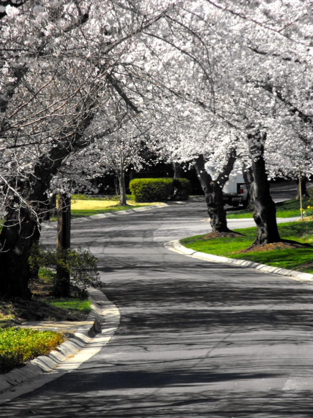 Winding Road through Cherry Blossoms