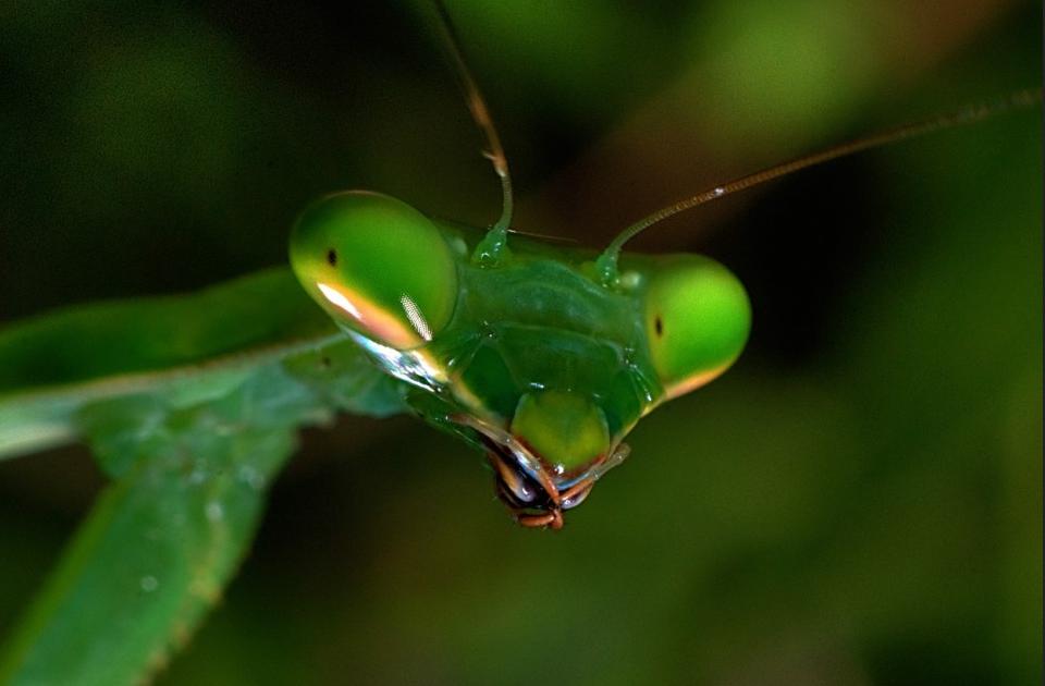 Do Praying Mantis Eat Bed Bugs